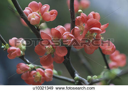 Japanese Quince clipart #13, Download drawings