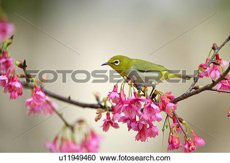 Japanese White-eye clipart #9, Download drawings