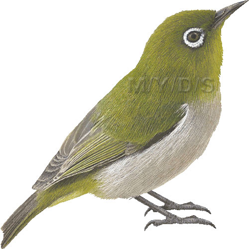Japanese White-eye clipart #18, Download drawings