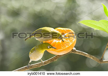Japanese White-eye clipart #16, Download drawings