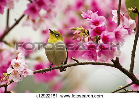 Japanese White-eye clipart #12, Download drawings