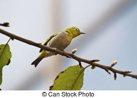 Japanese White-eye clipart #11, Download drawings