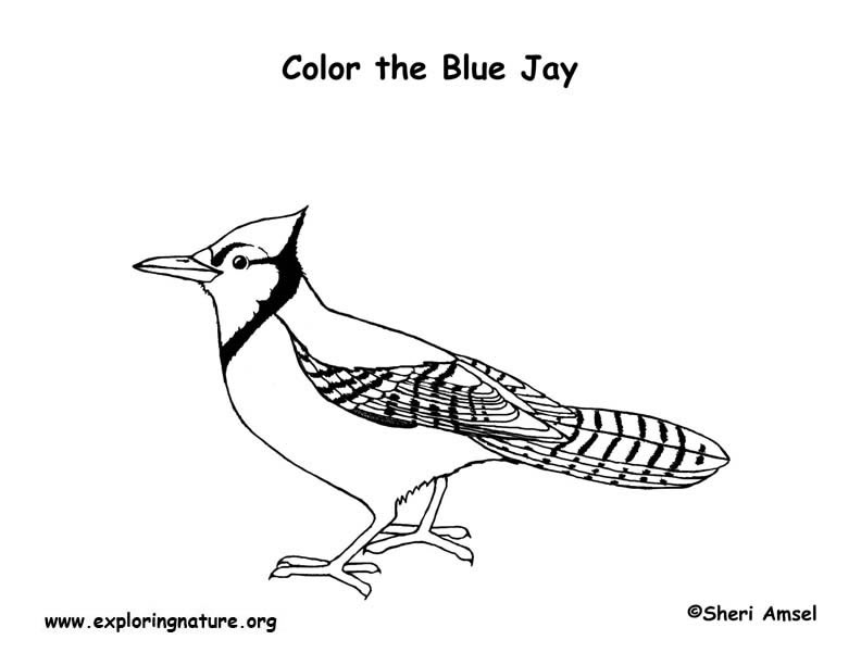 Jay coloring #5, Download drawings