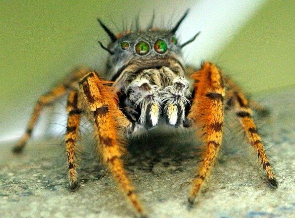 Jumping Spider coloring #5, Download drawings