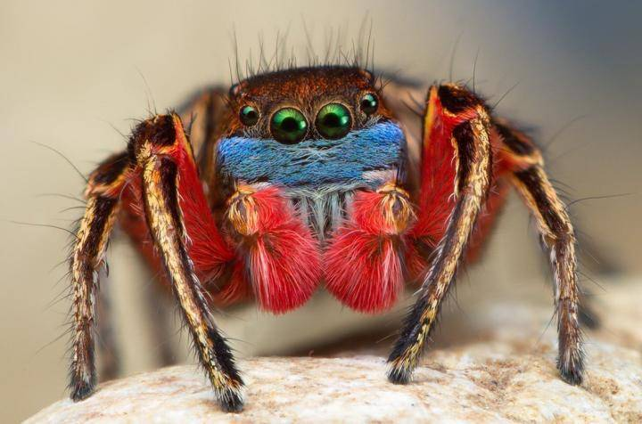 Jumping Spider coloring #11, Download drawings
