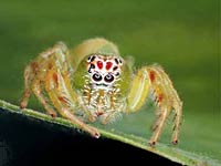 Jumping Spider coloring #4, Download drawings
