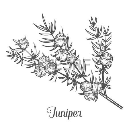Juniper coloring #4, Download drawings