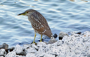 Juvenile Night Heron clipart #1, Download drawings