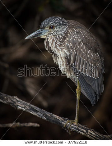 Juvenile Night Heron clipart #5, Download drawings