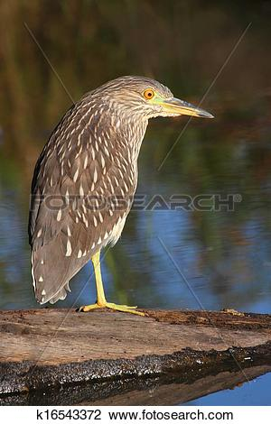Juvenile Night Heron clipart #16, Download drawings