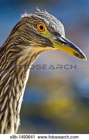 Juvenile Night Heron clipart #19, Download drawings
