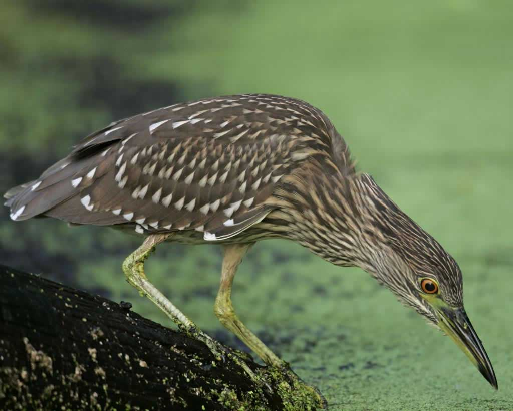 Juvenile Night Heron clipart #14, Download drawings