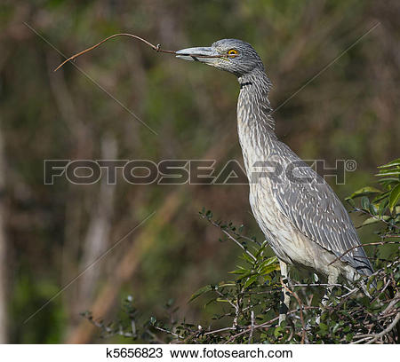 Juvenile Night Heron clipart #13, Download drawings