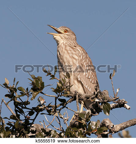 Juvenile Night Heron clipart #9, Download drawings