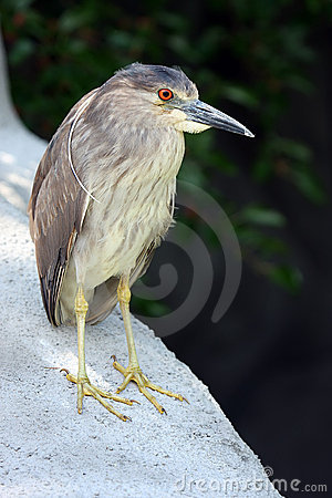 Juvenile Night Heron clipart #17, Download drawings