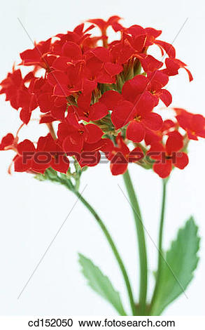 Kalanchoe clipart #8, Download drawings