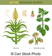 Kalanchoe clipart #7, Download drawings