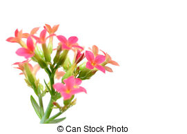Kalanchoe clipart #10, Download drawings