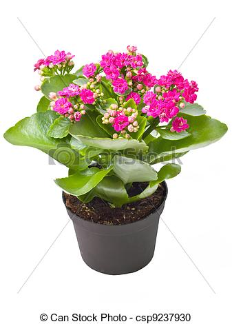 Kalanchoe clipart #15, Download drawings