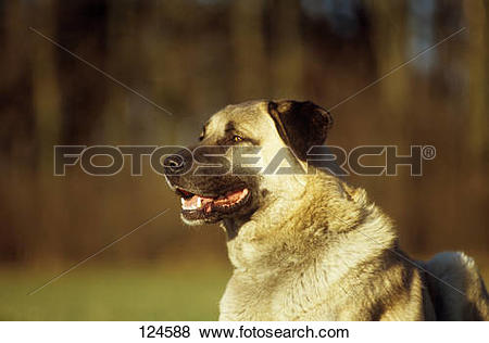 Kangal Dog clipart #20, Download drawings