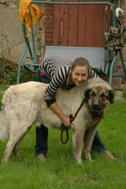 Kangal Dog coloring