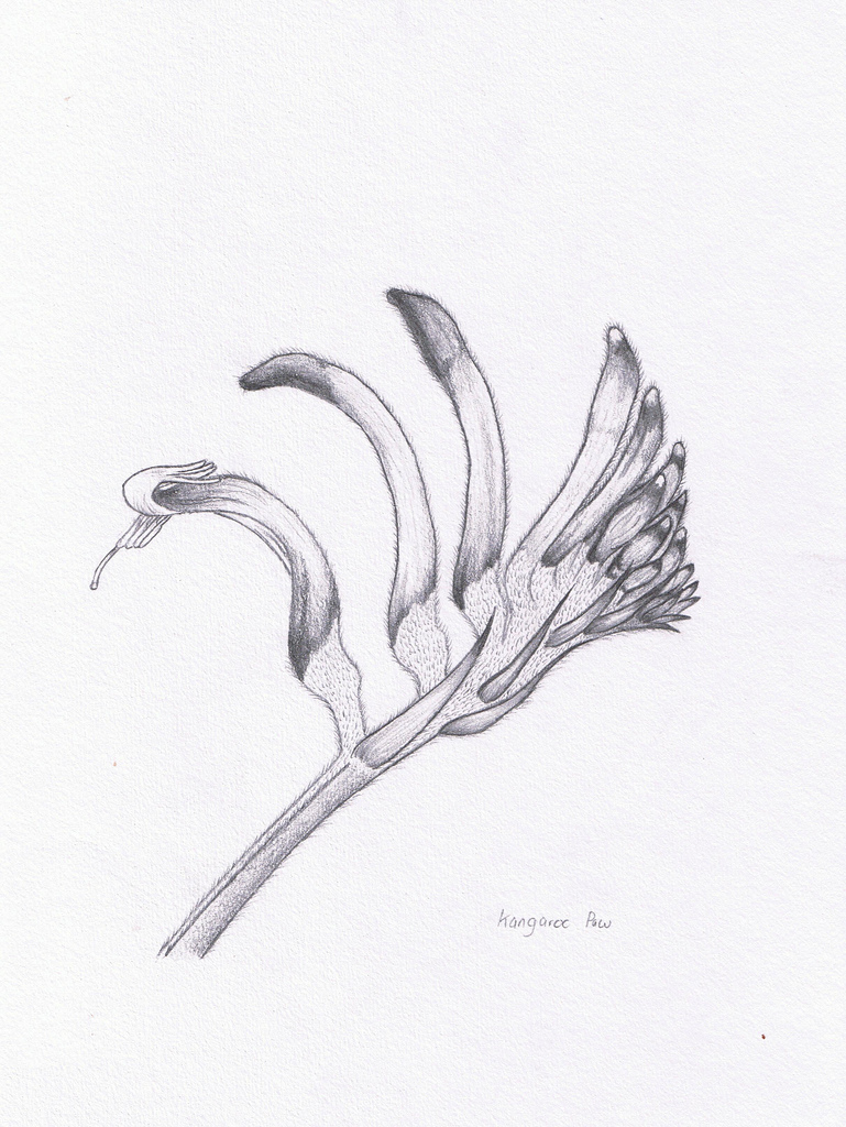 Kangaroo Paw clipart #1, Download drawings