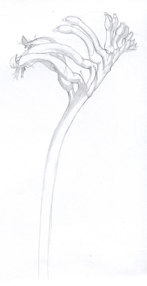 Kangaroo Paw coloring #7, Download drawings