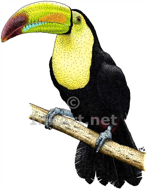 Keel-billed Toucan coloring #11, Download drawings