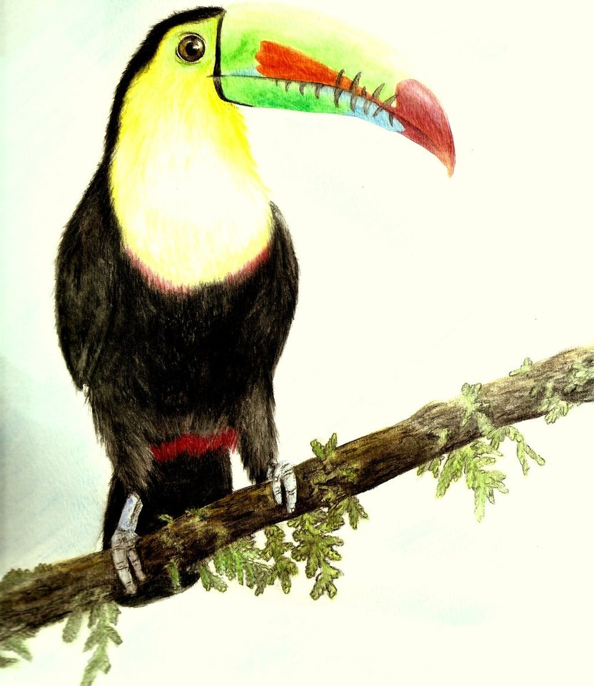 Keel-billed Toucan coloring #16, Download drawings