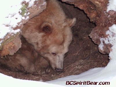 Kermode Bear clipart #4, Download drawings