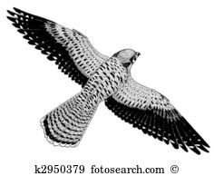 Kestrel clipart #8, Download drawings