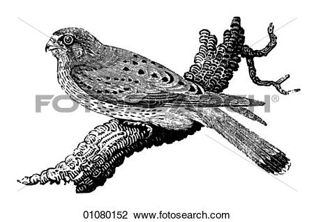 Kestrel clipart #11, Download drawings