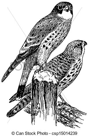 Kestrel clipart #5, Download drawings