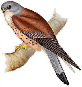 Kestrel clipart #9, Download drawings