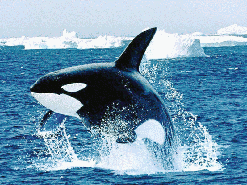 Killer Whale clipart #3, Download drawings