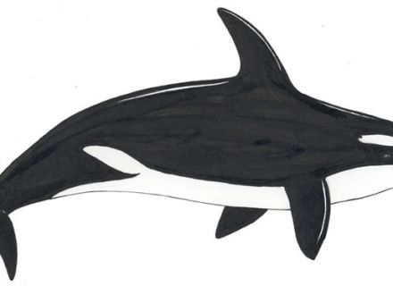 Killer Whale coloring #13, Download drawings