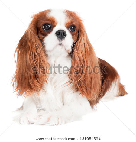 King Charles Spaniel clipart #13, Download drawings