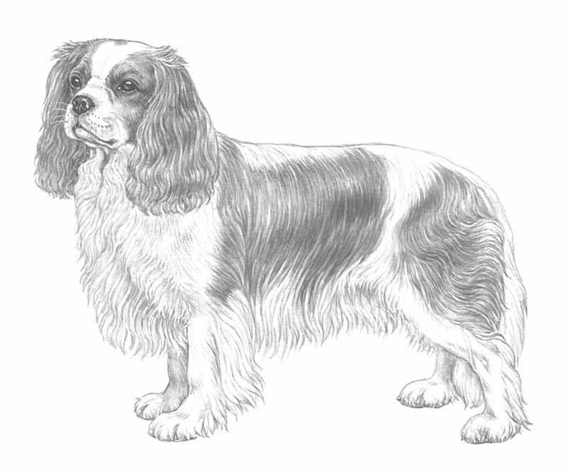 King Charles Spaniel coloring #18, Download drawings
