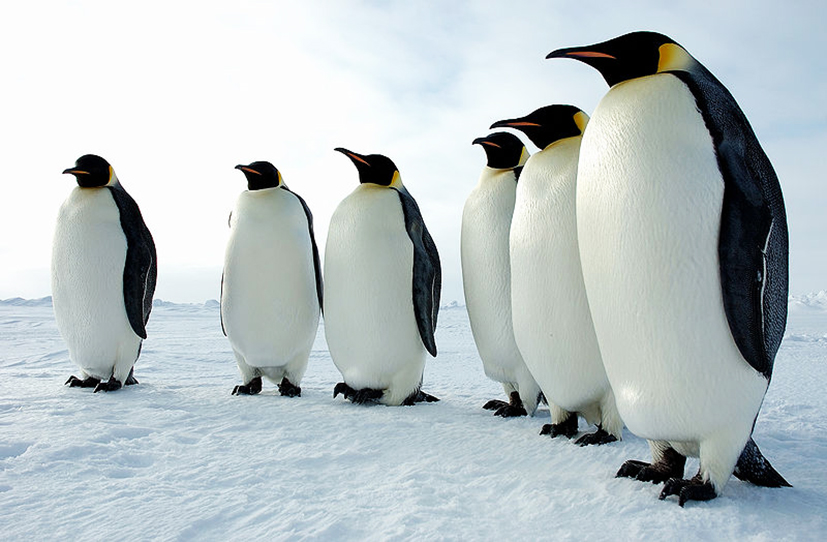 King Emperor Penguins clipart #5, Download drawings