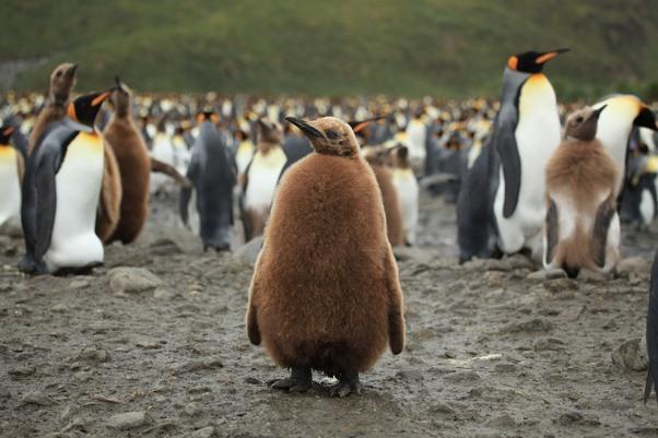 King Emperor Penguins coloring #1, Download drawings