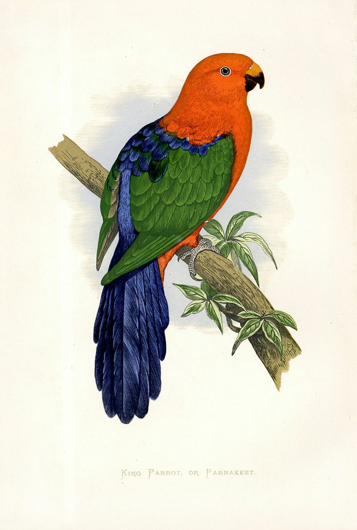 King Parrot clipart #4, Download drawings