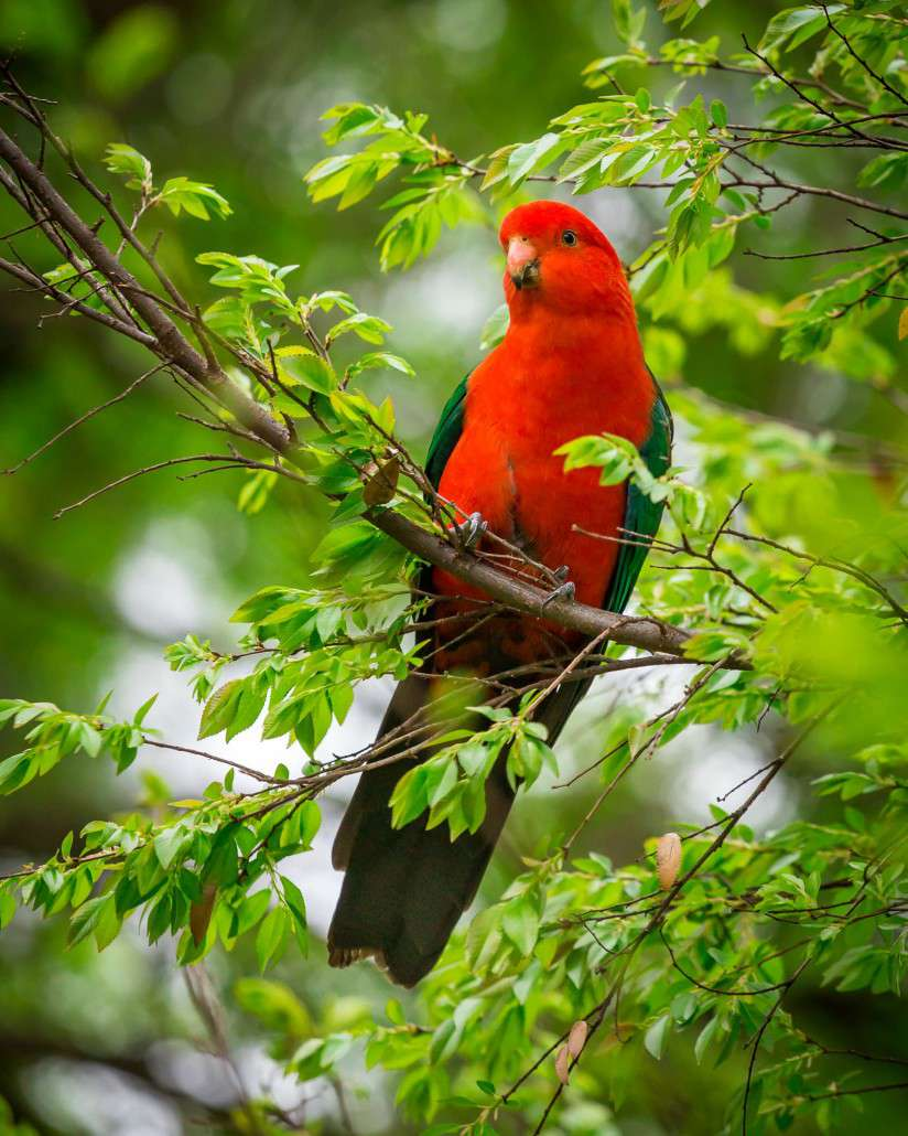 King Parrot clipart #2, Download drawings