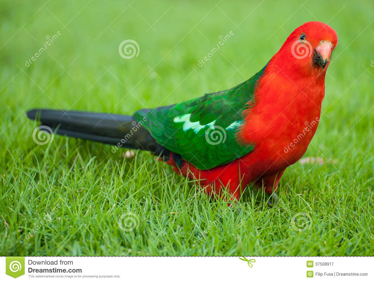 King Parrot clipart #12, Download drawings
