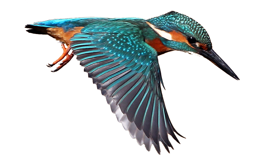 Kingfisher clipart #2, Download drawings