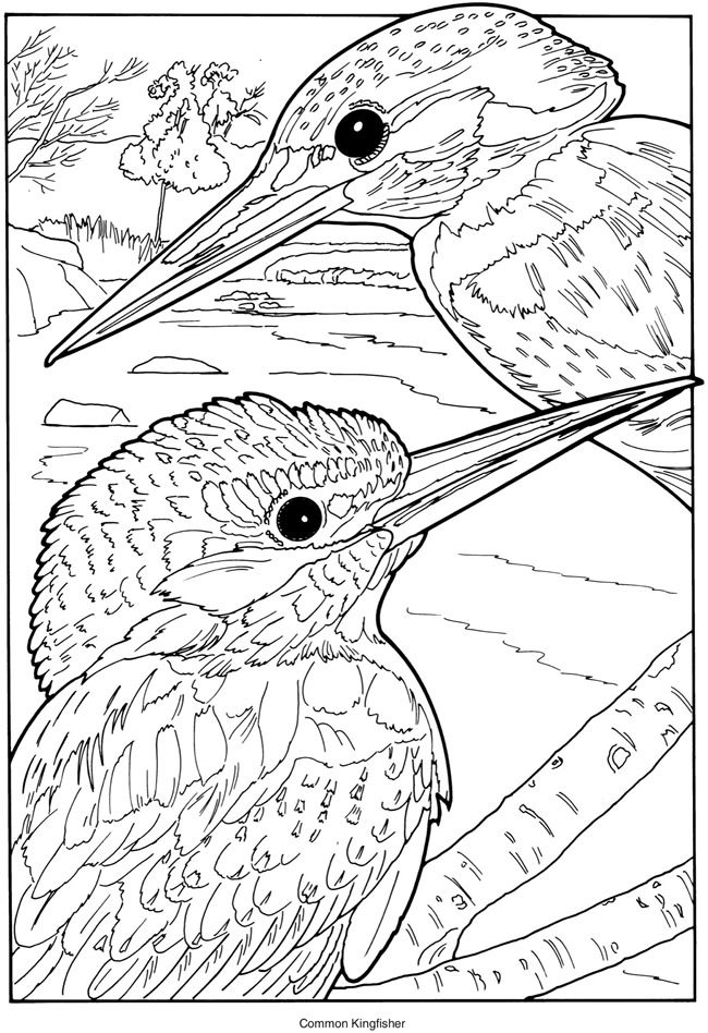 Kingfisher coloring #3, Download drawings