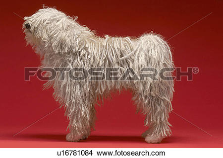 Komondor clipart #7, Download drawings