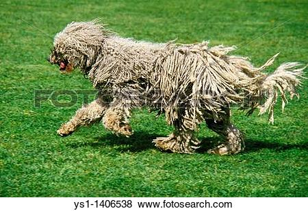 Komondor clipart #9, Download drawings