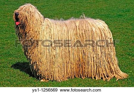 Komondor clipart #13, Download drawings