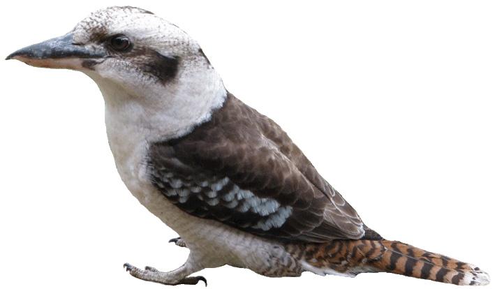 Kookaburra clipart #8, Download drawings