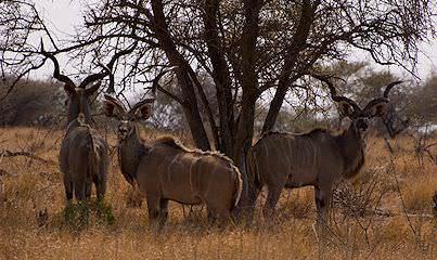 Kruger National Park clipart #10, Download drawings